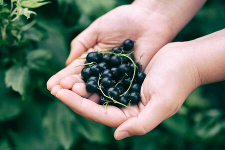 black currants: Black currants in the palms.