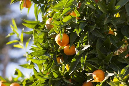 tangerine tree: Tangerine Tree. Ripe and fresh tangerine.