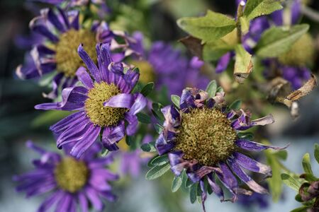 wilted: Wilted asters.