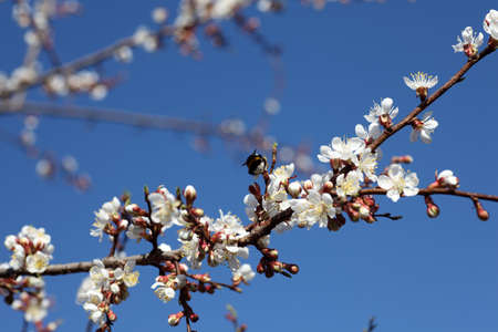apricot tree: Blossoming of apricot tree flowers. Close-up. Stock Photo