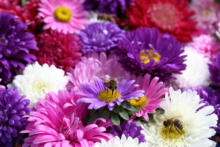 Beautiful asters and bees. Close-up.