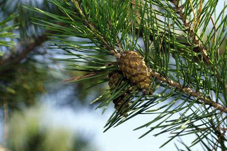 pine cone: Pine Cone primo piano