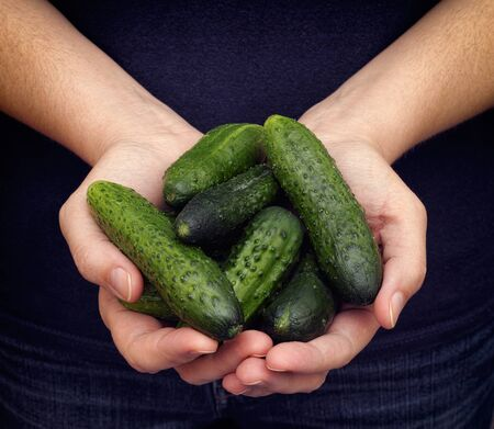 harvested: Woman holds fresh harvested cucumbers in her palms. Closeup. Stock Photo
