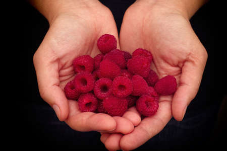 harvest organic: Woman holds fresh raspberries in her palms. Closeup.