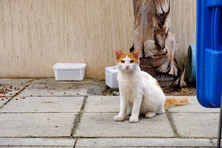 cat food: Stray cat looks at the camera. Near the cat there is cat food.