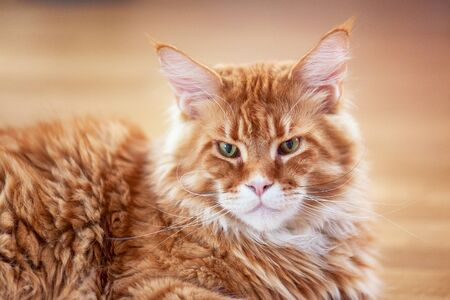 Red maine coon cat laying on the floor. Close up. 스톡 콘텐츠