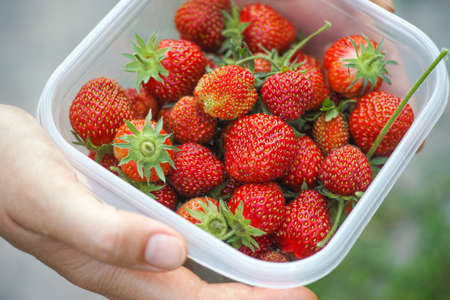 Woman holding freshly harvested organic strawberry in a plastic container. Stock Photo