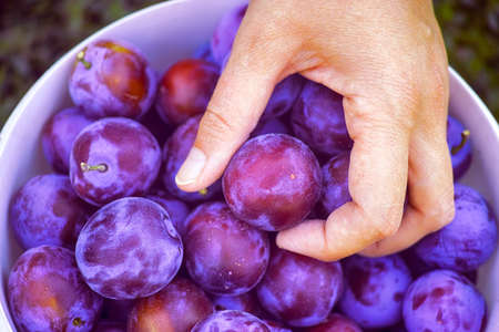 Freshly harvested organic plums.