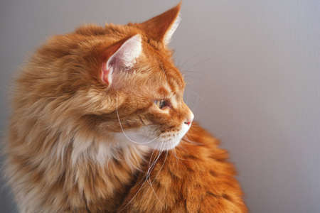 Red Maine Coon Cat Portrait. Close up. Stock Photo