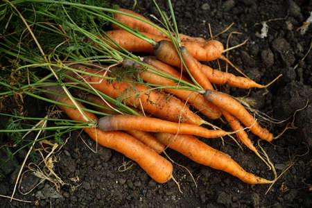 Freshly harvested carrots on soil. Low key. Stock Photo