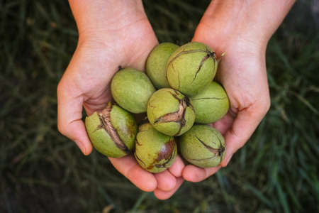 Freshly harvested walnuts in a green husk.
