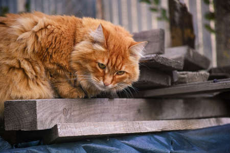 Red stray cat lying on old boards. Close up.