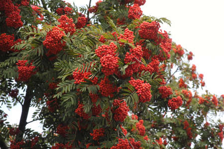 Rowan tree with rowan berries. Close up.