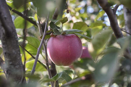Close up of apple on the apple tree. Stock Photo