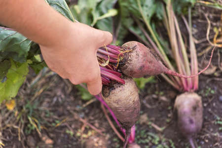 Farmer holding freshly harvested organic beetroot in his hand. Close up.