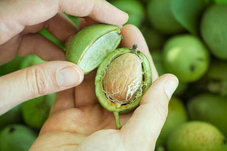 Person holding freshly harvested walnut in a green husk. Close up.