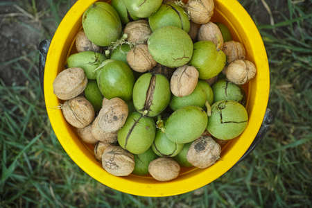 Freshly harvested walnuts in a yellow bucket. Close up. Stock Photo