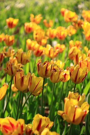 Tulips in a city park photo