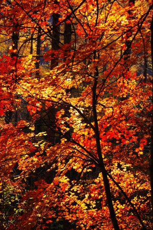 japanese fall foliage: Autumn leaves  in Nishizawa Ravine Japan