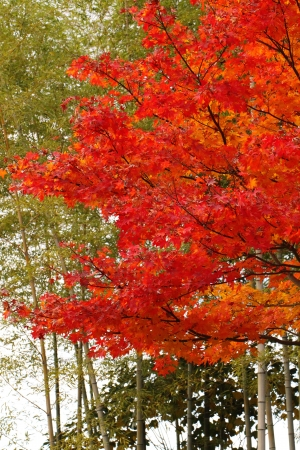 Autumn leaves  in Syouwakinenn Garden Japan Stock Photo - 14906653