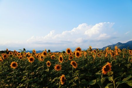 sunflowers field on blue sky photo
