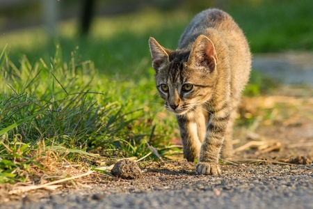 Tiger striped kitten hunting for something to play with
