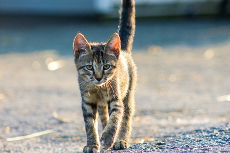 Tiger striped kitten walking