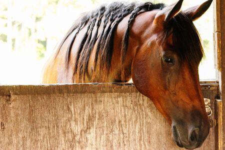 Horse hanging his head over the barn door