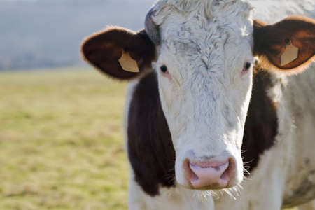 beautiful cow: Close up shot of a beautiful cow.