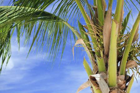 exotism: Palm tree close-up shot. Horizontal shot. Thailand.