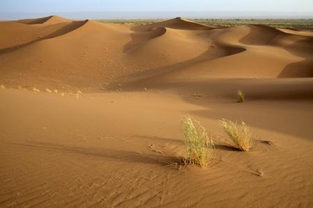 duna: Plantas en dunas de arena del Sahara del desierto en Marruecos. Horizontal disparado. Foto de archivo