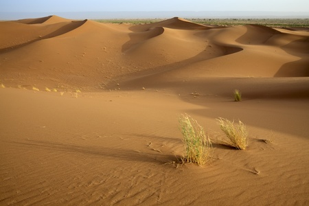 sahara: Plants in sand dunes in Sahara desert in Morocco. Horizontal shot.