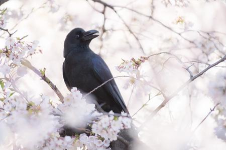 Raven bird perching and Cherry Blossom and Sakura flowers in Tokyo. Stock Photo