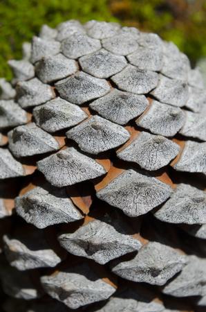 Pine cone: Pomme de pin
