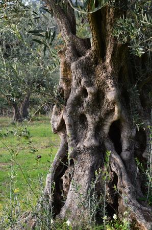 オリーブの木の幹 写真素材