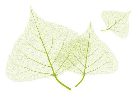 Leaves with ribs, Spring color