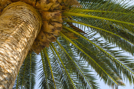 Palm tree, trunk and palms