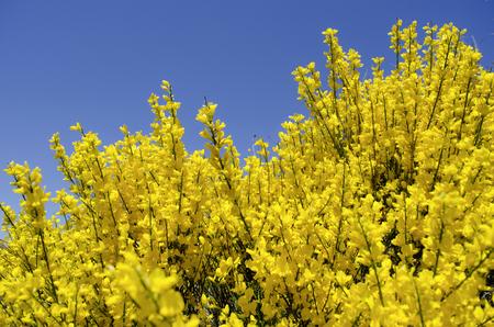 Broom bloom au printemps, fond du ciel bleu Banque d'images - 73410736