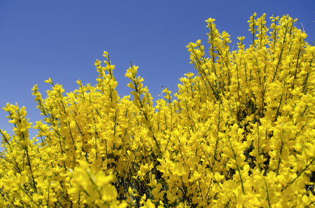 Broom bloom in spring, blue sky background
