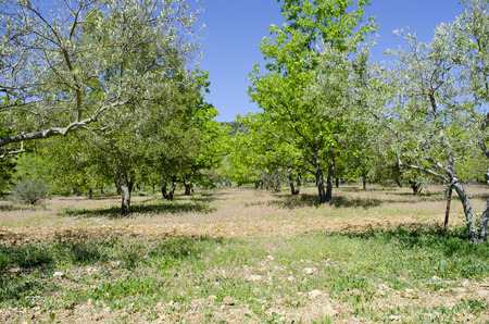 Truffle cultivation with oaks