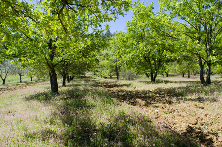 valuation: Truffle cultivation with oaks