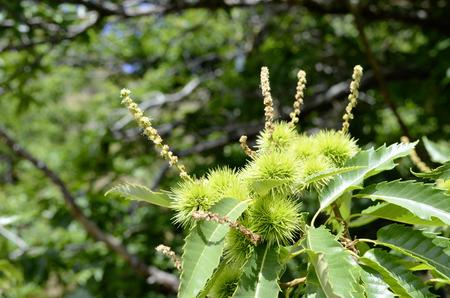 Chestnuts, development of bugs with flowering 版權商用圖片