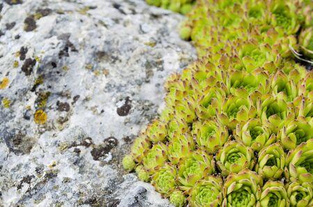 Greasy mountain plants, Houseleeks
