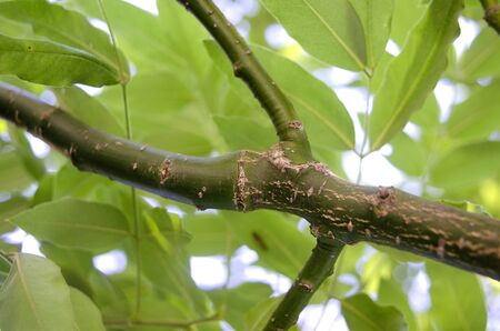 Fraxinus excelsior green branch