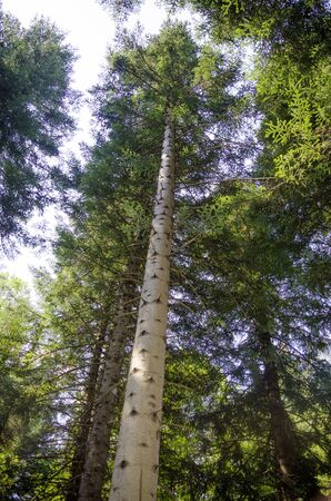 Spruce forest, from the trunk to the sky