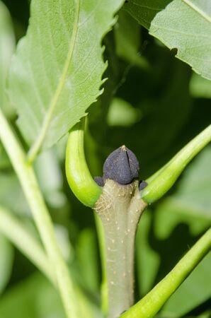 Fraxinus excelsior black bud 写真素材