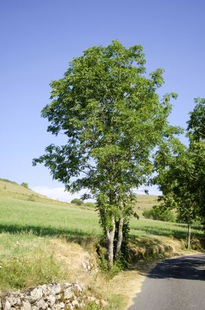 Fraxinus excelsior, isolated tree