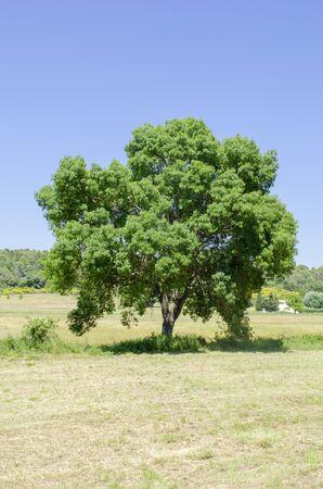 Fraxinus angustifolia, isolated tree 写真素材