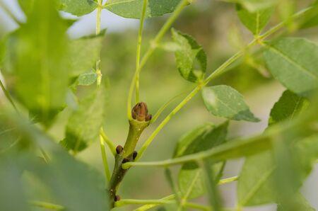 Fraxinus angustifolia bud