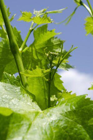 Vine plant development